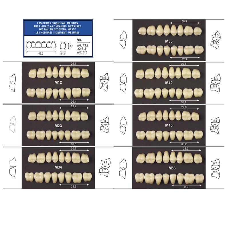 Guia de tamaños para los dientes posteriores inferiores y superiores de odilux